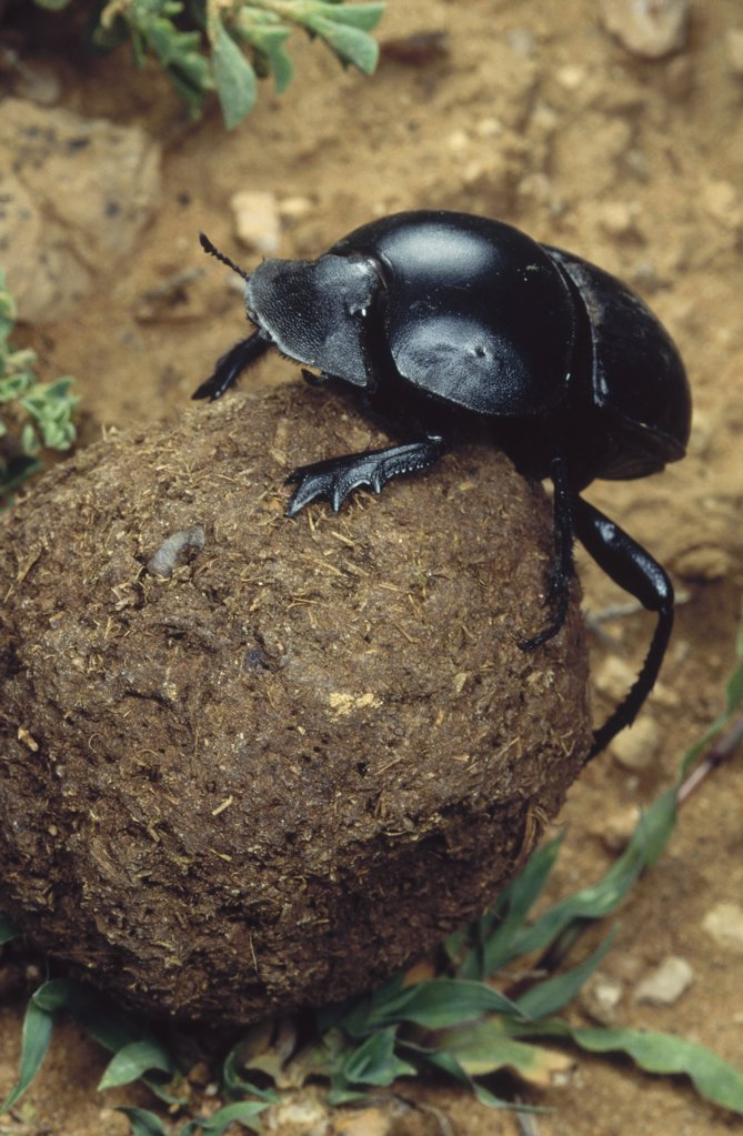 Stock Photo: 4201-17355 African Scarab Beetle (Circellium bacchus) rolling dung ball, Addo National Park, South Africa