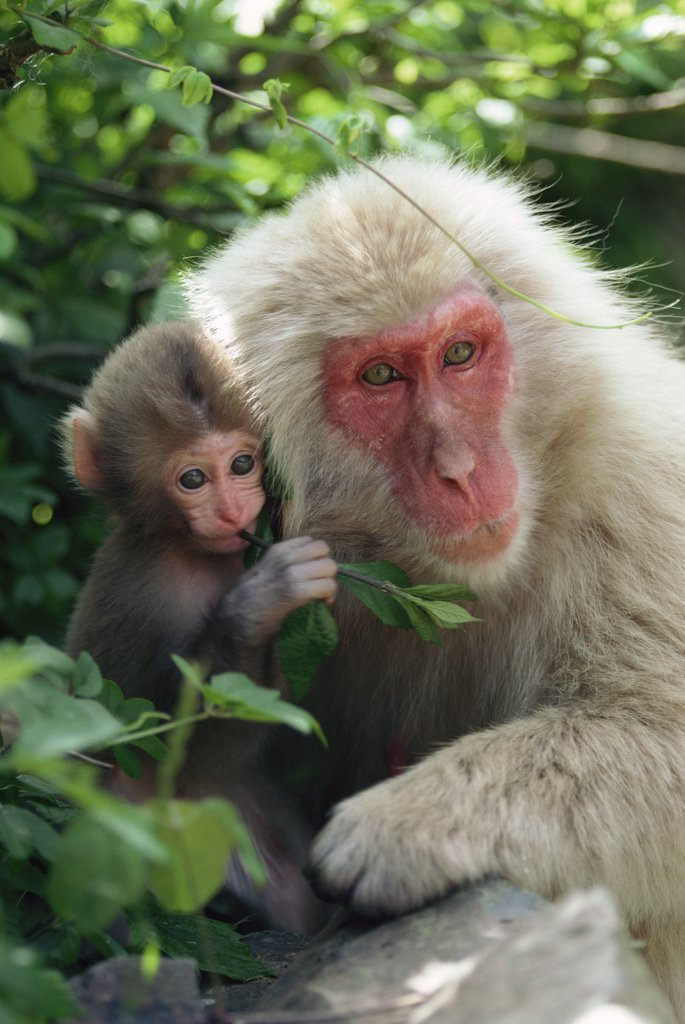 Japanese Macaque (Macaca fuscata) mother and baby, Japan : Stock Photo