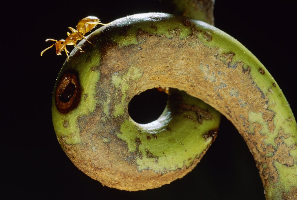 Carpenter Ant (Camponotus schmtzi) on tendril of host Villose Pitcher Plant (Nepenthes villosa) a symbiotic relationship where the ants help host digest insects in exchange for living space, Borneo : Stock Photo