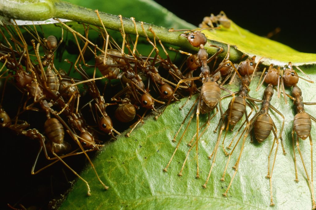 Stock Photo: 4201-17437 Weaver Ant (Oecophylla longinoda) group grab an adjacent leaf and stem with mandibles and toes and pull, gradually binding them together, Malaysia