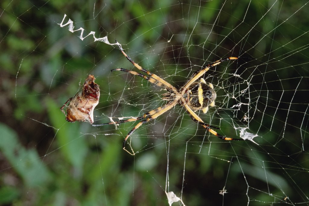 Argrope Spider eats Scarab Beetle snared in web, El Yano Carti Road, Panama : Stock Photo