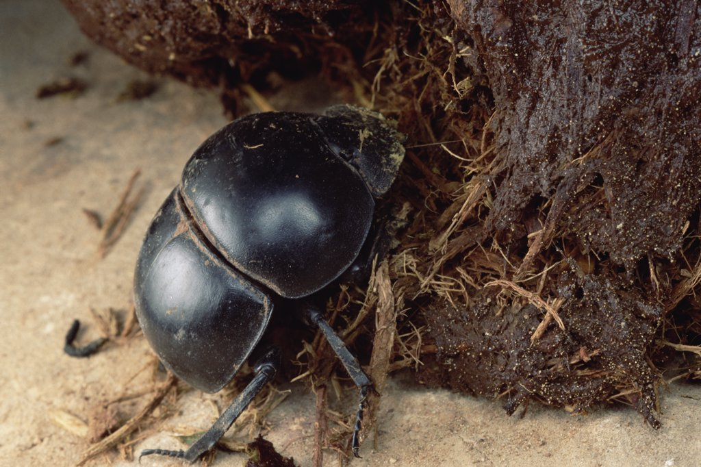 Stock Photo: 4201-17524 Dung Beetle (Scarabaeidae) an endangered variety gathering dung, South Africa