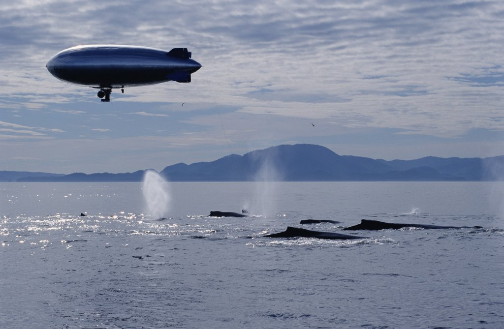 Humpback Whale (Megaptera novaeangliae) group photographed by BBC film crew with remote camera mounted on air ship, Southeast Alaska : Stock Photo