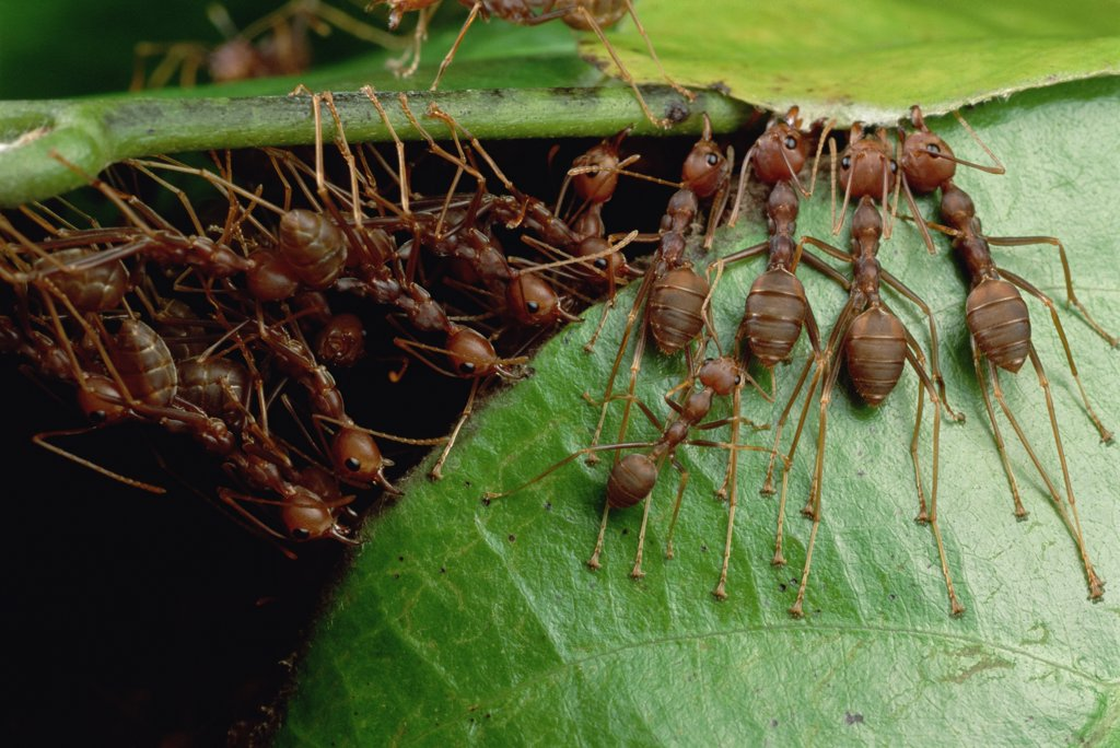 Weaver Ant (Oecophylla longinoda) group grab an adjacent leaf and stem with mandibles and toes and pull, gradually binding them together to make a nest, Malaysia : Stock Photo