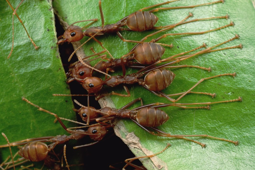 Stock Photo: 4201-17751 Weaver Ant (Oecophylla longinoda) group grab an adjacent leaf and stem with mandibles and toes and pull, gradually binding them together to make a nest, Malaysia