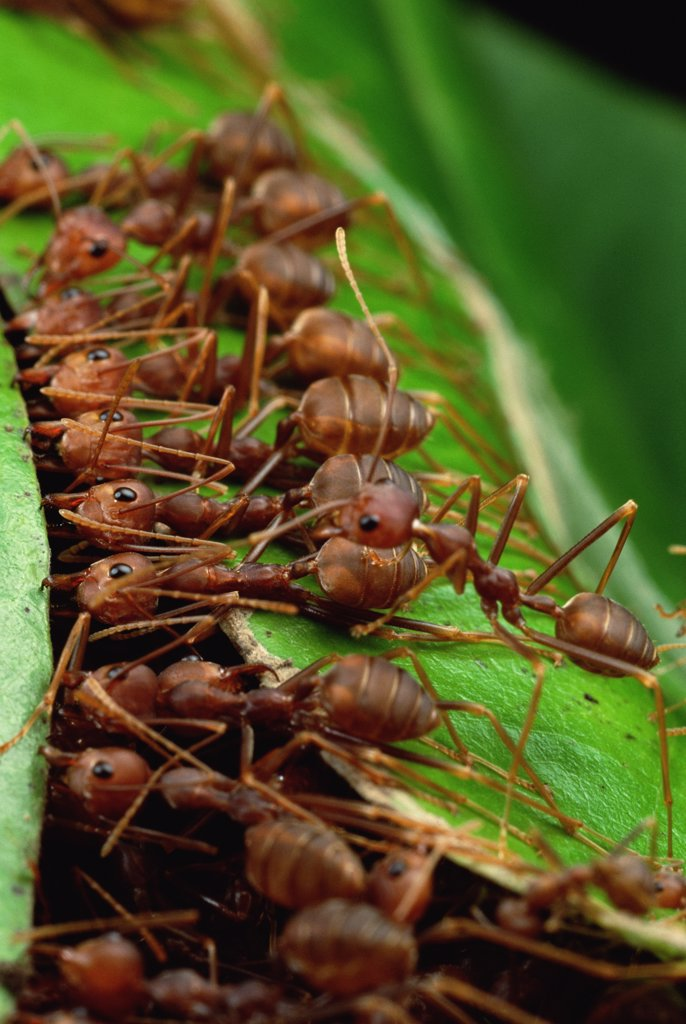 Stock Photo: 4201-17752 Weaver Ant (Oecophylla longinoda) group grab an adjacent leaf and stem with mandibles and toes and pull, gradually binding them together to make a nest, Malaysia