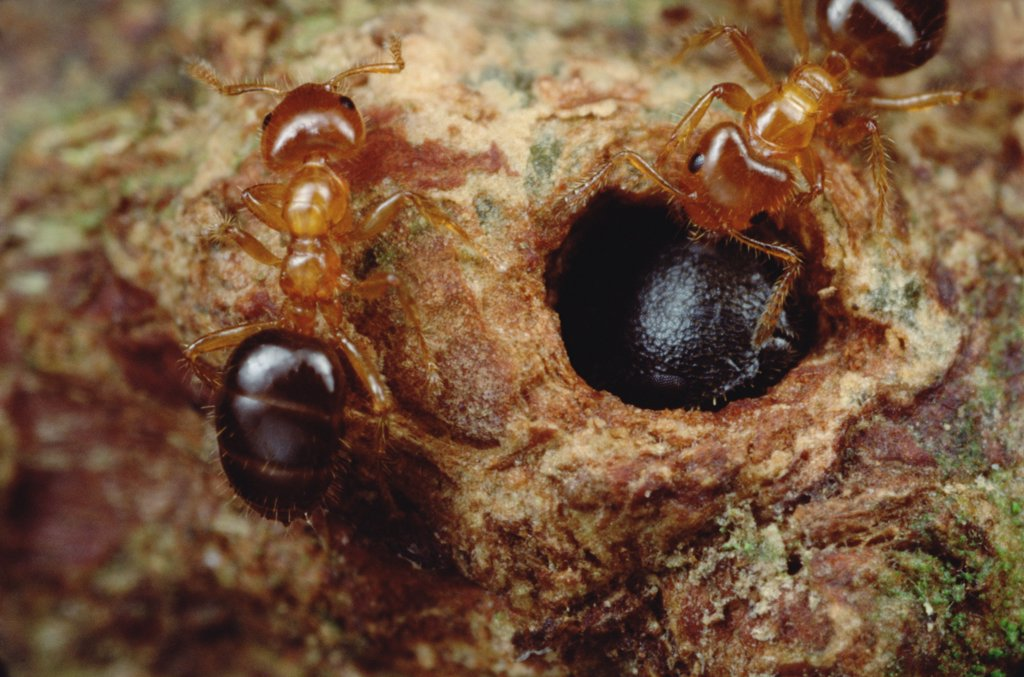 Stock Photo: 4201-17898 Ant (Petalomyrmex sp) group cannot drive parasitic ants (Cataulacus sp) from the tree because parasite soldiers blocks entrance with head, Cameroon