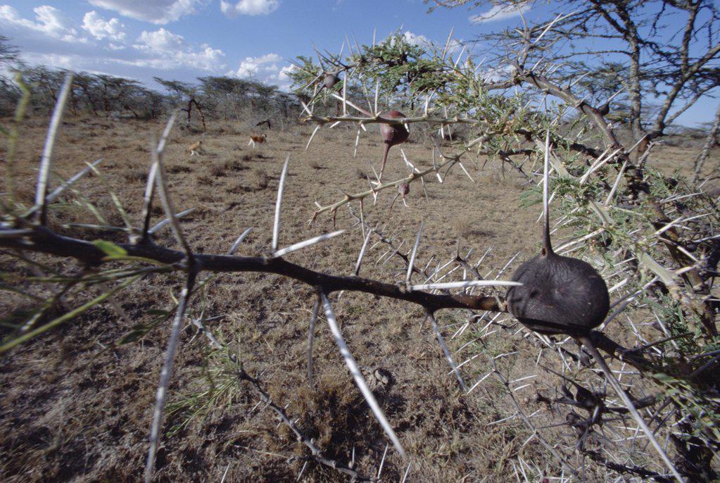 Stock Photo: 4201-17938 Whistling Thorn (Acacia drepanolobium) with Patas Monkeys (Erythrocebus patas) feeding on ants in background, Kenya