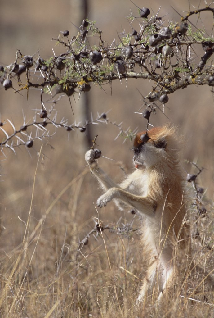 Stock Photo: 4201-17944 Patas Monkey (Erythrocebus patas) feeding off Whistling Thorn (Acacia drepanolobium) acacia tree thorn occupied by Parasitic Ant (Tetraponera sp), Africa