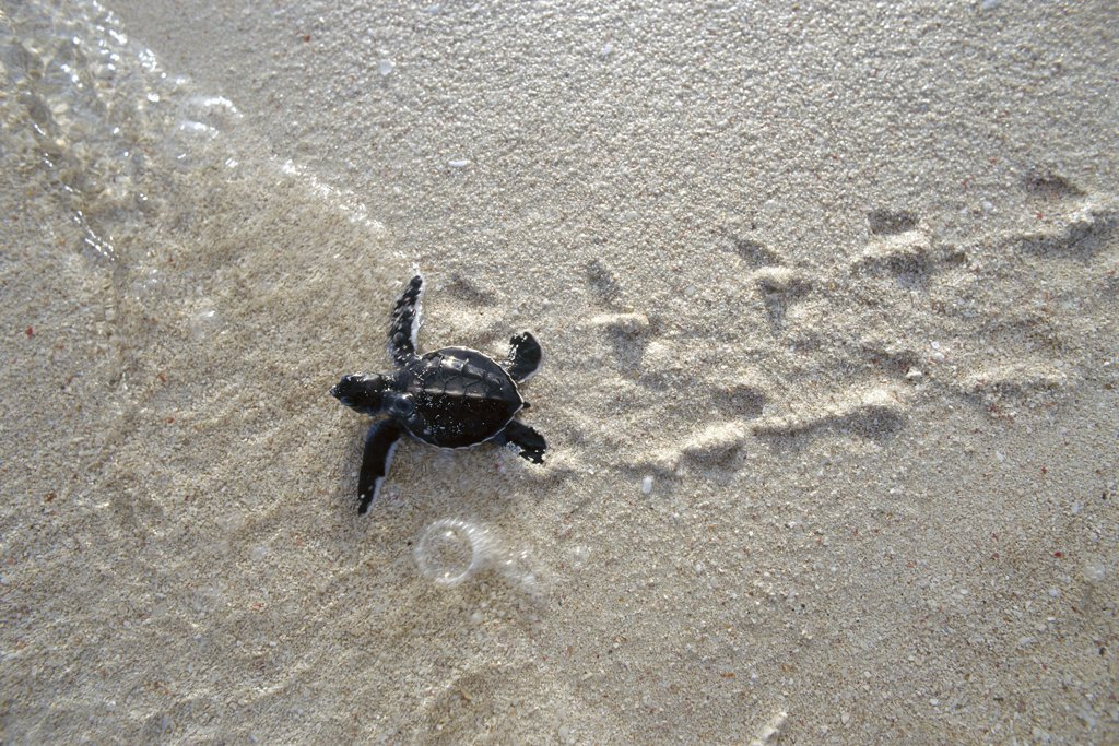 Stock Photo: 4201-18702 Green Sea Turtle (Chelonia mydas) hatchling, making its way to the sea, Borneo