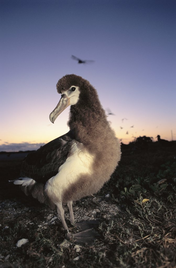 Laysan Albatross (Phoebastria immutabilis) fledgling chick, Hawaiian Islands National Wildlife Refuge, Hawaii : Stock Photo