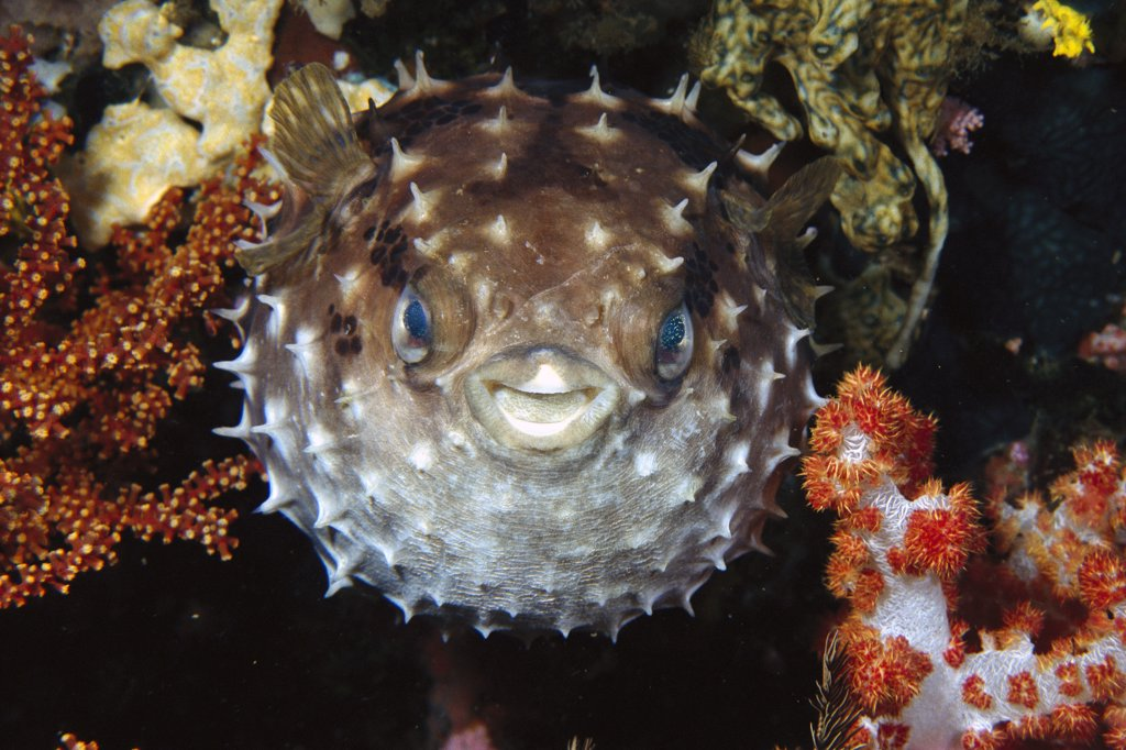 Stock Photo: 4201-19046 Porcupinefish (Diodon sp) swells up in defense, Philippines