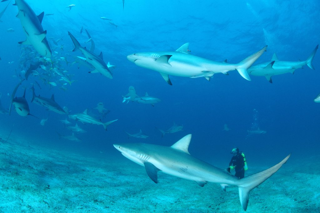 Stock Photo: 4201-19119 Caribbean Reef Shark (Carcharhinus perezii) group attracted to bait surround diver Peter Brueggeman, Bahamas, Caribbean