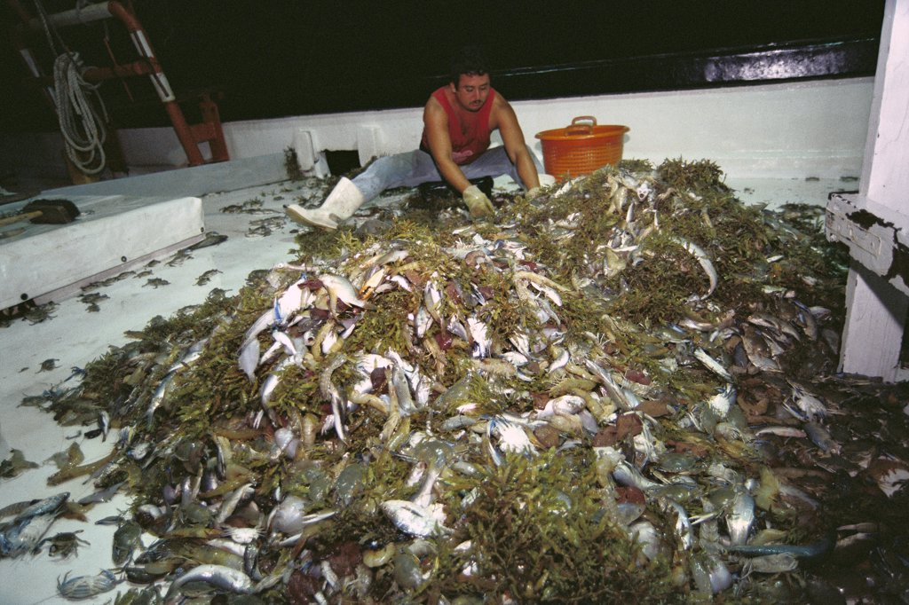 Stock Photo: 4201-19248 Shrimper culling his catch, up to 12 times bycatch for one pound of shrimp, populations and habitat threatened by too many trawlers, Texas, USA, Gulf of Mexico