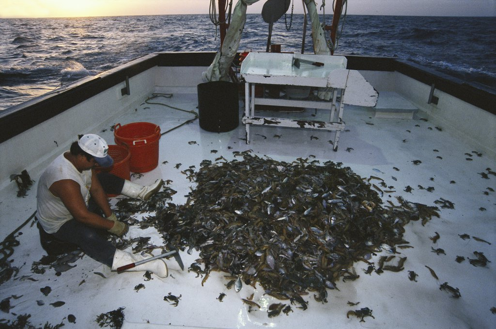 Shrimper culling his catch, up to 12 times bycatch for one pound of shrimp, populations and habitat threatened by too many trawlers, Texas, USA, Gulf of Mexico : Stock Photo
