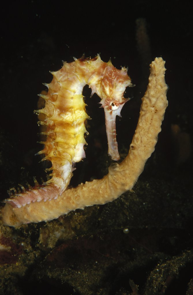 Thorny Seahorse (Hippocampus histrix) clinging to the branch of a sponge, Lembeh Strait, Indonesia : Stock Photo