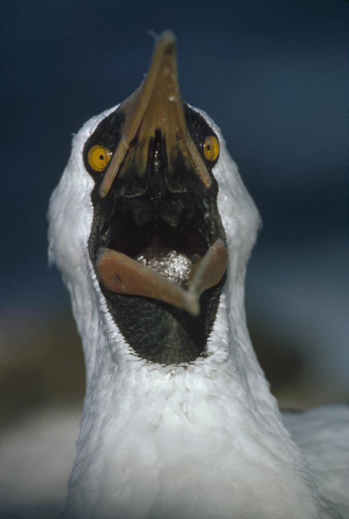 Masked Booby (Sula dactylatra) yawning, Hood Island, Galapagos Islands, Ecuador : Stock Photo