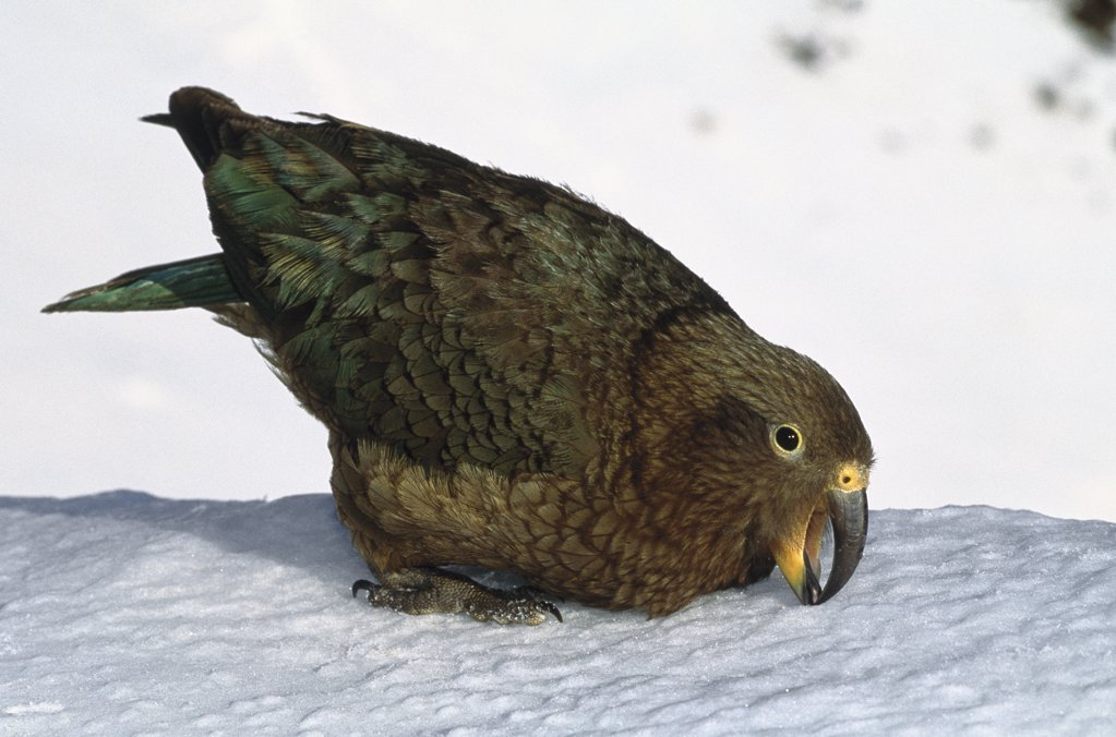 Stock Photo: 4201-19909 Kea (Nestor notabilis) endemic, foraging in snow fields above tree line, St Arnaud range, Nelson Lakes National Park, South Island, New Zealand