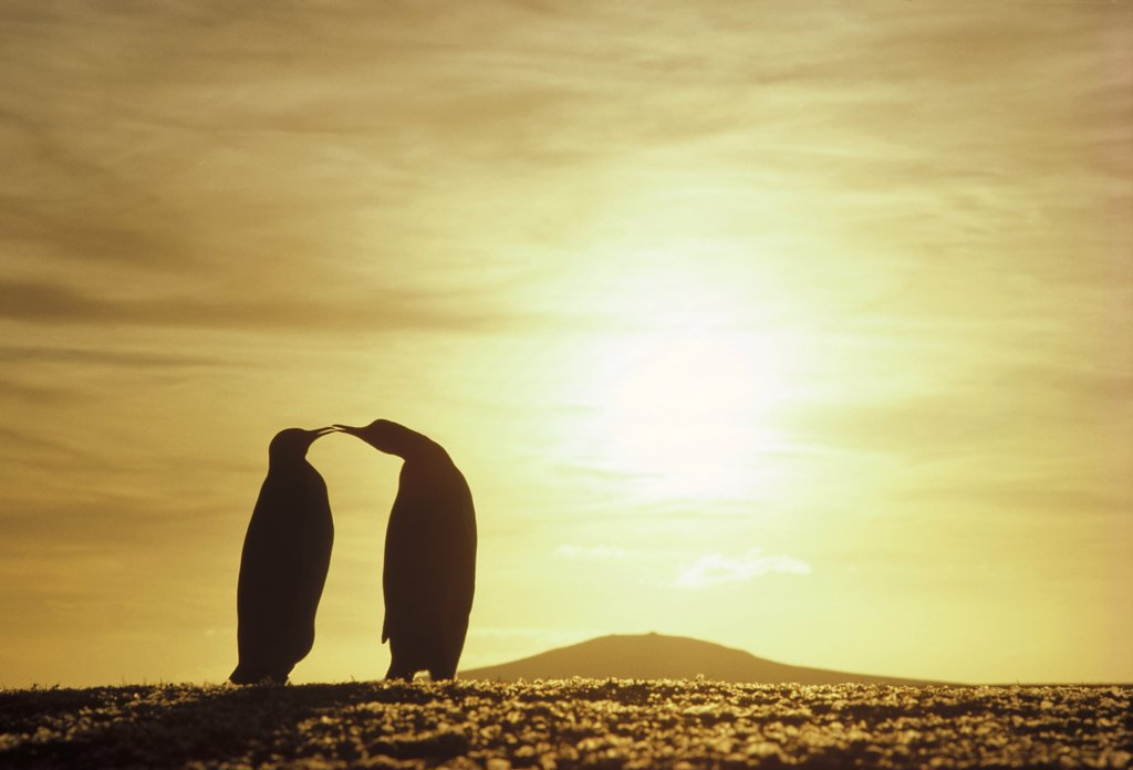 Stock Photo: 4201-19922 King Penguin (Aptenodytes patagonicus) couple silhouetted with austral summer sunset, Volunteer Point, Falkland Islands