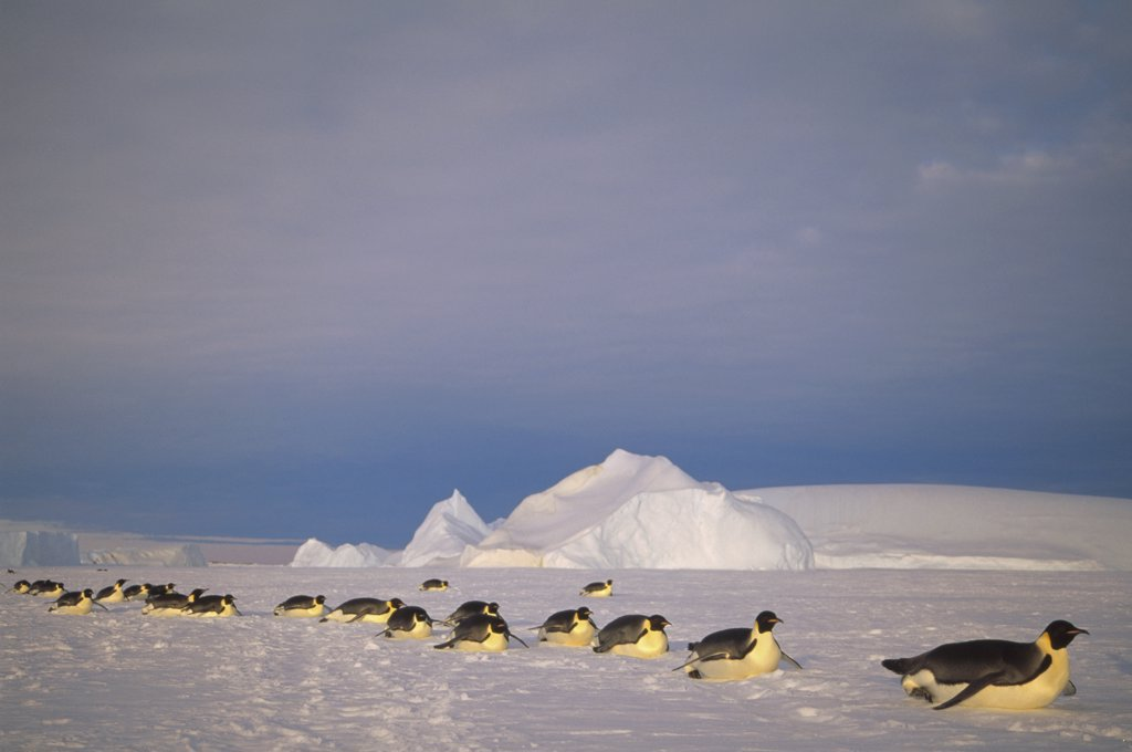 Stock Photo: 4201-19937 Emperor Penguin (Aptenodytes forsteri) group tobogganing across vast distance of fast ice to nesting rookery, Kloa Point, Edward VIII Gulf, Antarctica