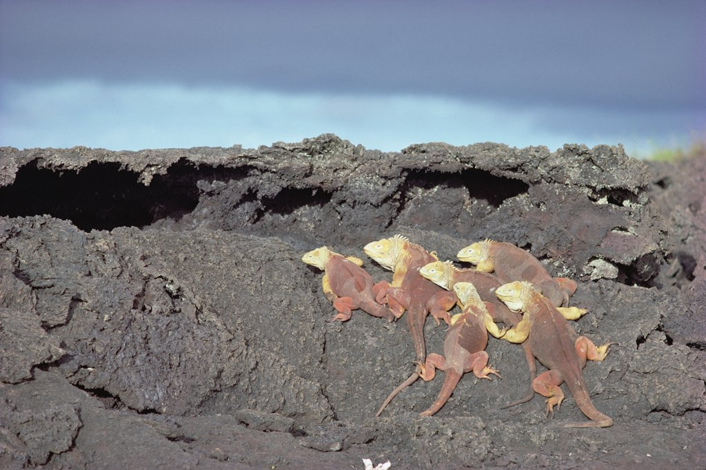 Stock Photo: 4201-20050 Galapagos Land Iguana (Conolophus subcristatus) rare social group basking together, Fernandina Island, Galapagos Islands, Ecuador