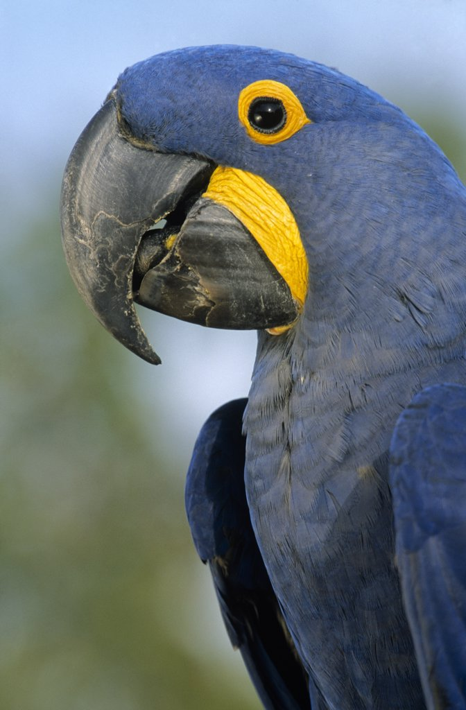 Stock Photo: 4201-20501 Hyacinth Macaw (Anodorhynchus hyacinthinus) portrait, Pantanal ecosystem, Brazil
