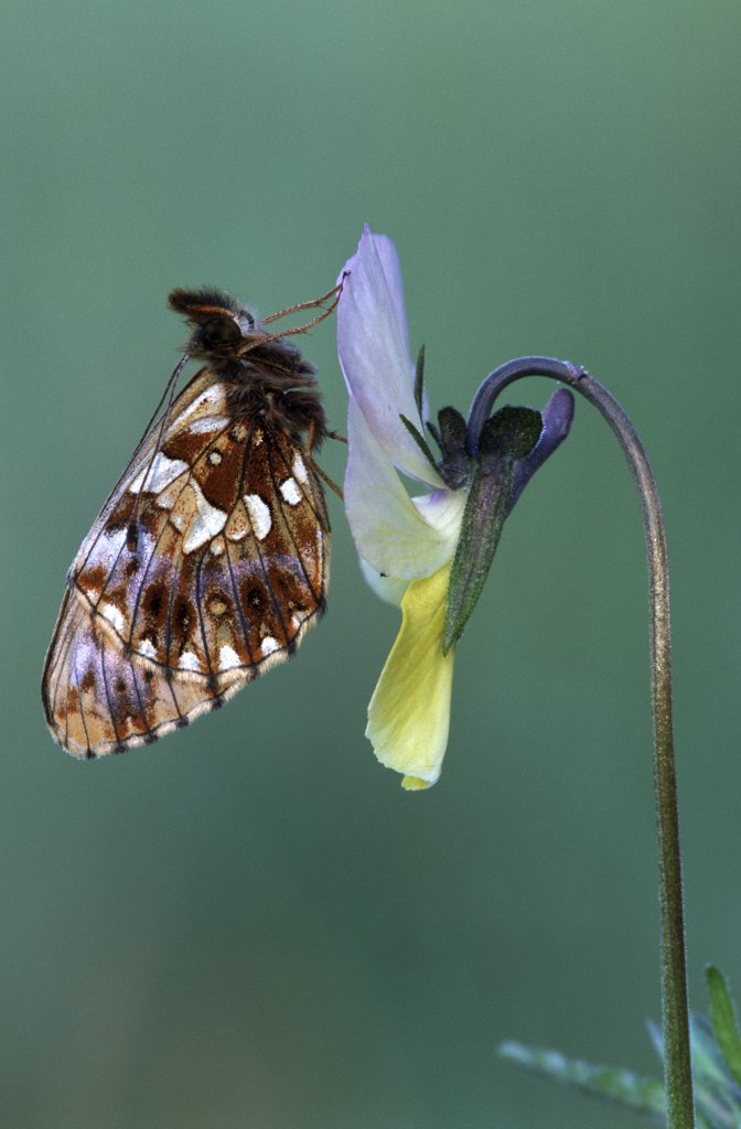 Weaver's Fritillary (Clossiana dia) adult on Pansy (Viola lutea), Europe : Stock Photo