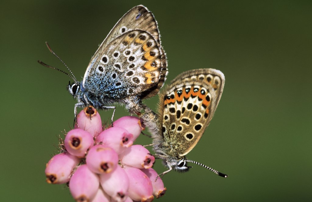 Stock Photo: 4201-21170 Silver-studded Blue (Plebejus argus) butterfly pair mating on flower, Europe