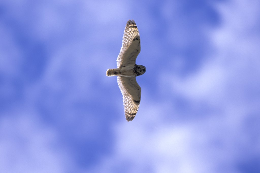Short-eared Owl (Asio flammeus) flying, Europe : Stock Photo