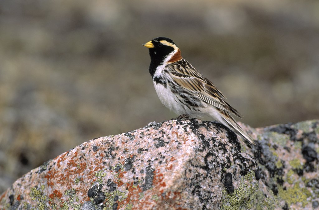 Stock Photo: 4201-21374 Lapland Bunting (Calcarius lapponicus) perching on rock, Europe