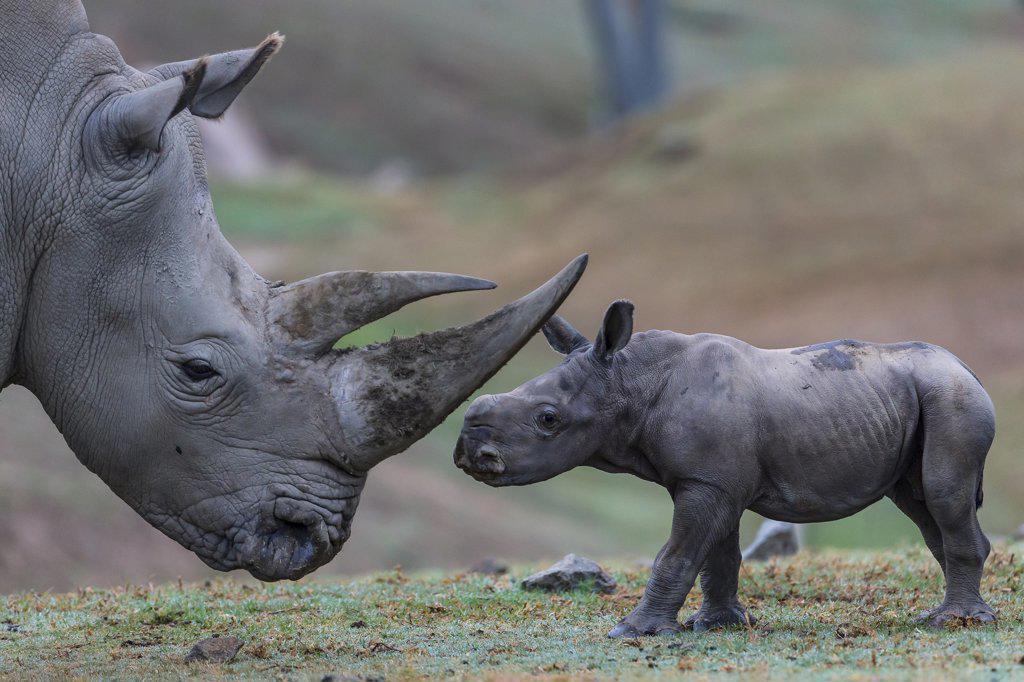 Stock Photo: 4201-21589566 White Rhinoceros (Ceratotherium simum) calf with mother, San Diego Zoo Safari Park, California