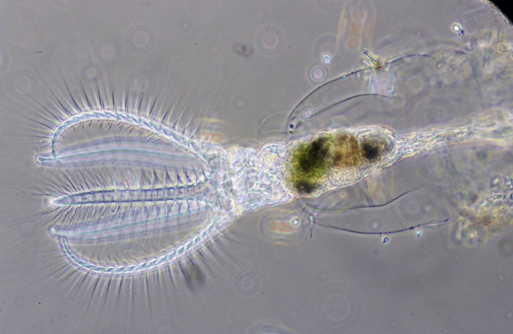 Stock Photo: 4201-22092 Rotifer (Rotaria rotatoria) a microscopically small animal with a length of 004 to 240 mm, showing cilia on its trochal discs, waterborne and can inhabit highly acidic environments