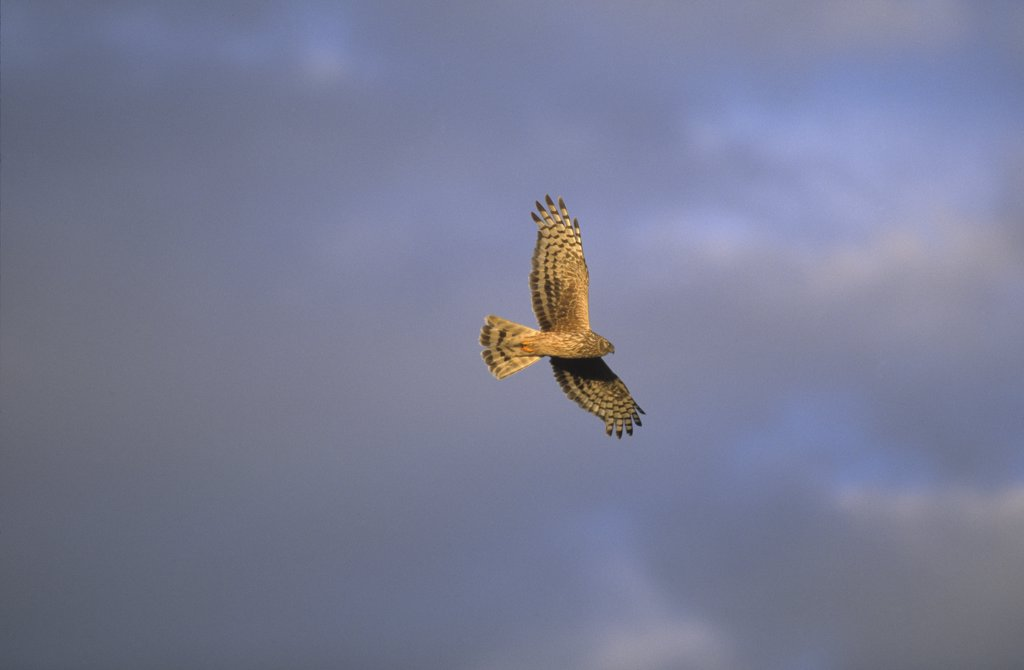 Northern Harrier (Circus cyaneus) flying, Europe : Stock Photo
