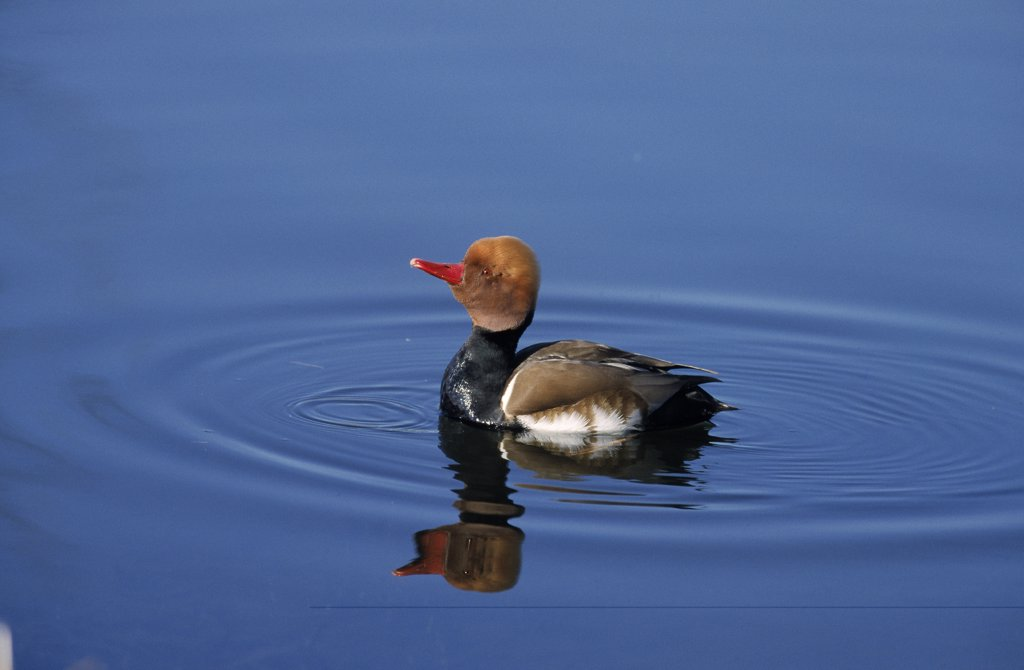 Red-crested Pochard (Netta rufina) male, Europe : Stock Photo