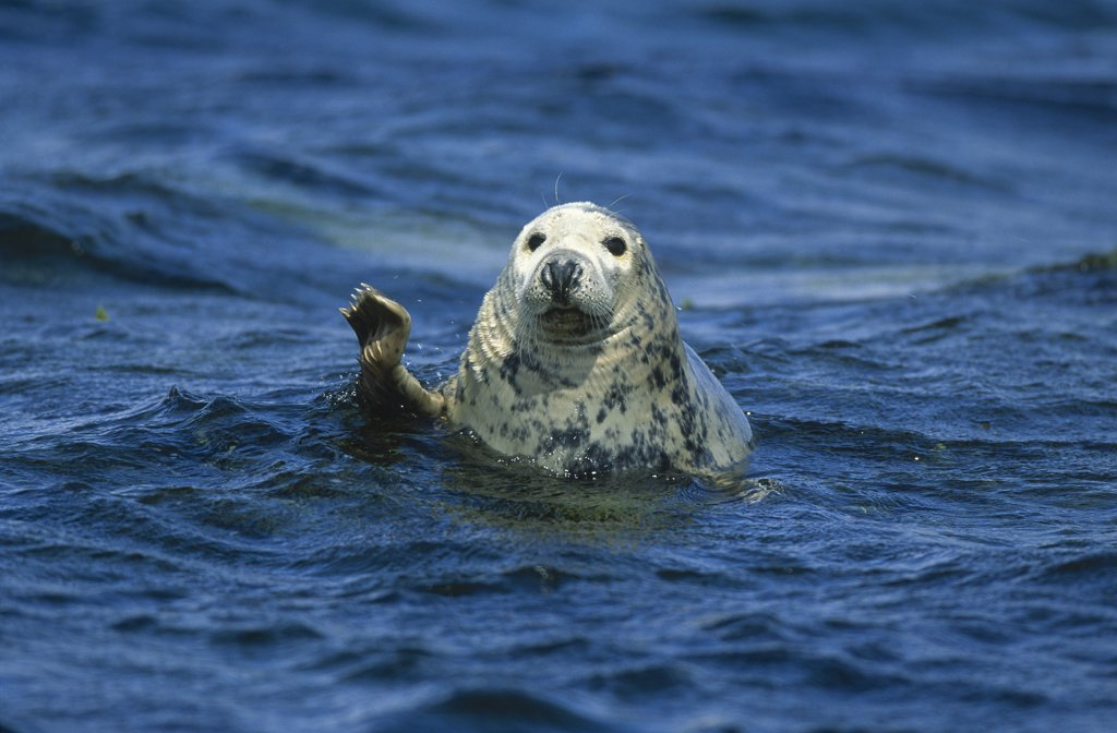 Stock Photo: 4201-22549 Grey Seal (Halichoerus grypus) waving its flipper, Europe