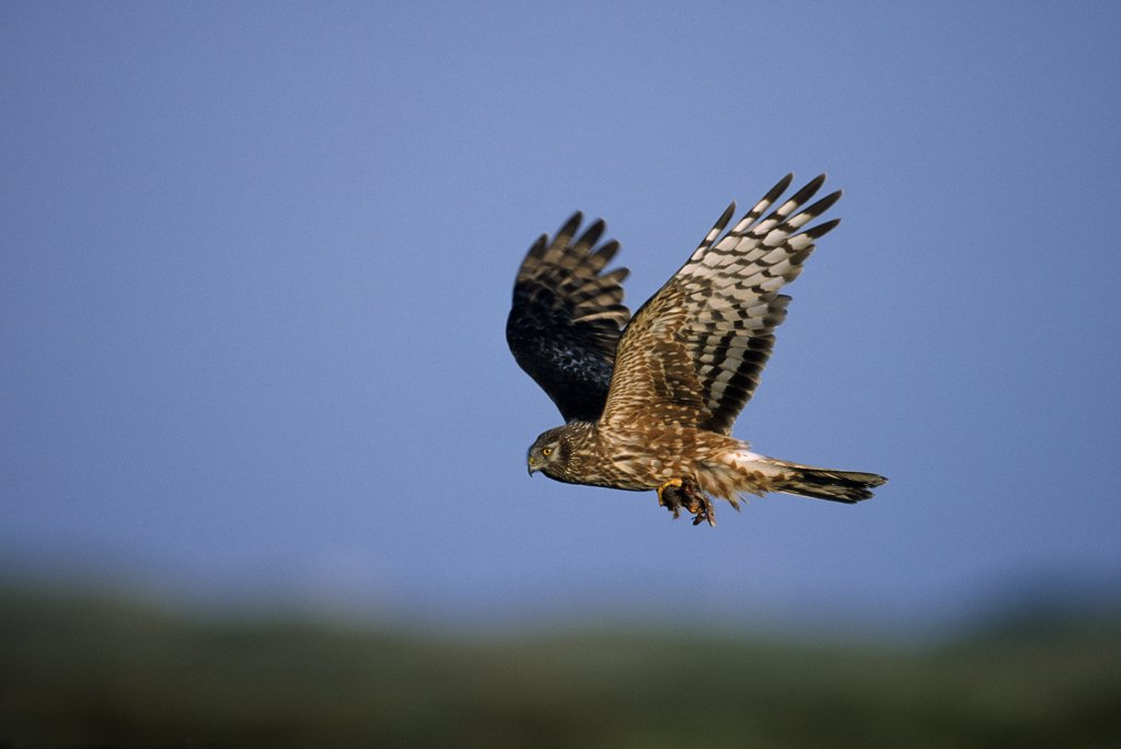 Northern Harrier (Circus cyaneus) female flying, Europe : Stock Photo