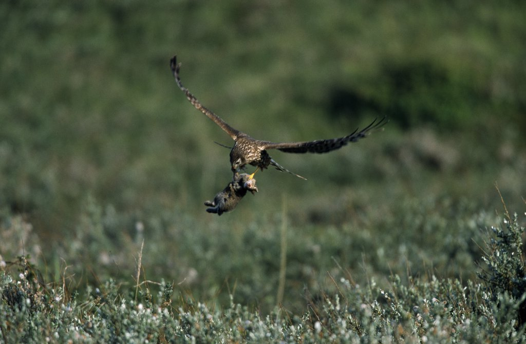 Northern Harrier (Circus cyaneus) female flying with prey, Europe : Stock Photo