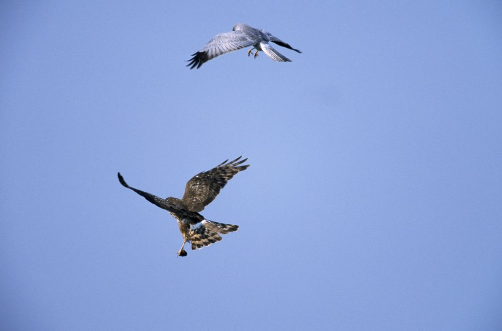 Northern Harrier (Circus cyaneus) male drops food item to mate, Europe : Stock Photo