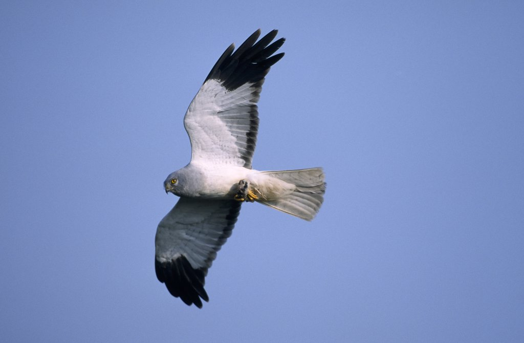Stock Photo: 4201-22562 Northern Harrier (Circus cyaneus) adult male flying, Europe