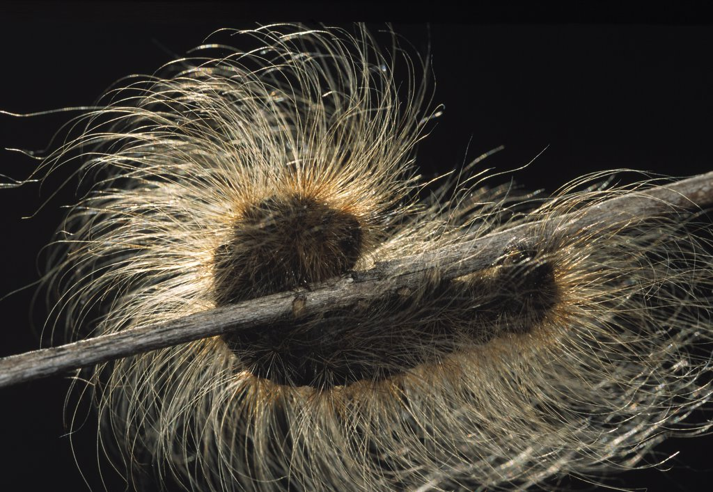 Tiger Moth (Arctiidae) long haired caterpillar on twig : Stock Photo