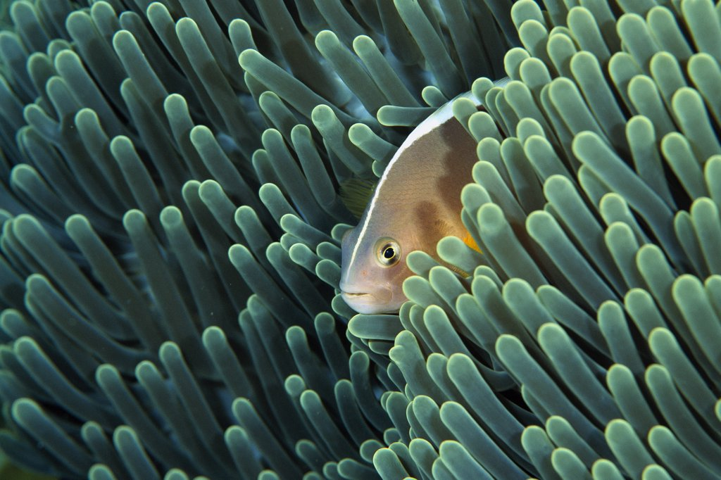 Stock Photo: 4201-2284 Skunk Anemonefish (Amphiprion akallopisos) living with a Magnificent Sea Anemone (Heteractis magnifica), Bali, Indonesia