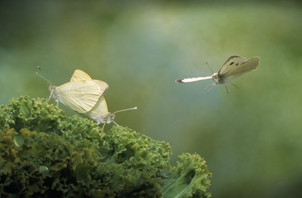 Stock Photo: 4201-22996 Cabbage Butterfly (Pieris brassicae) pair mating and one flying, Europe