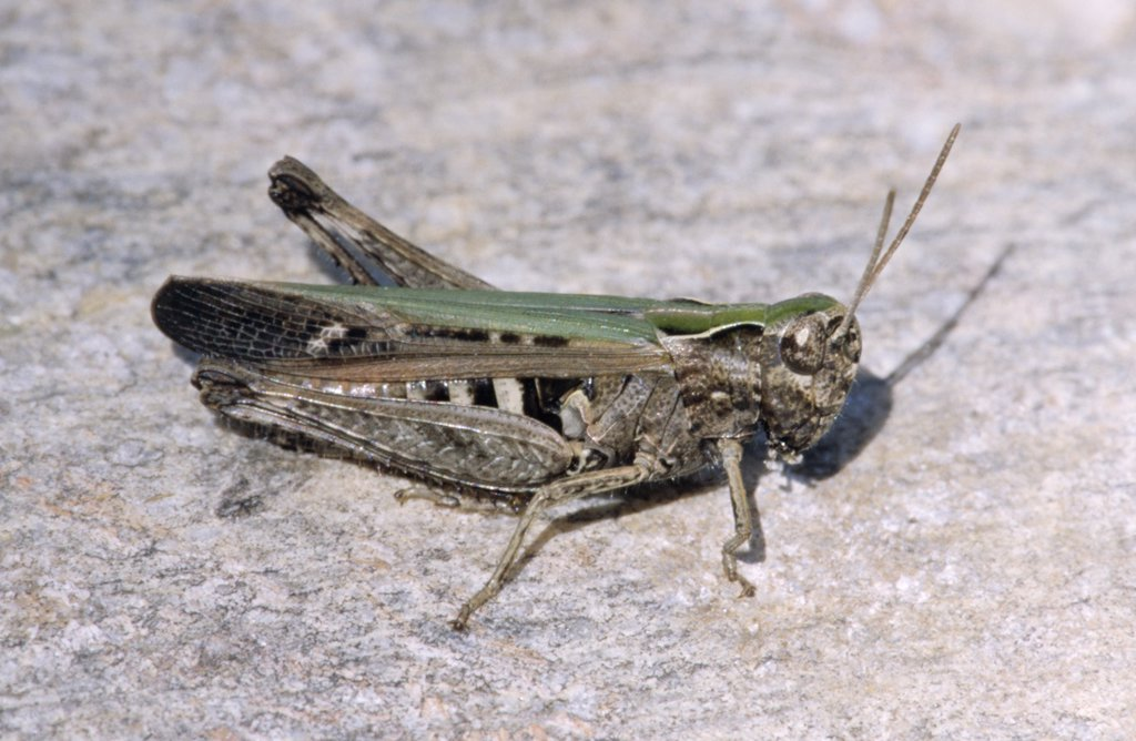 Stock Photo: 4201-23130 Woodland Grasshopper (Omocestus rufipes) close up, Europe
