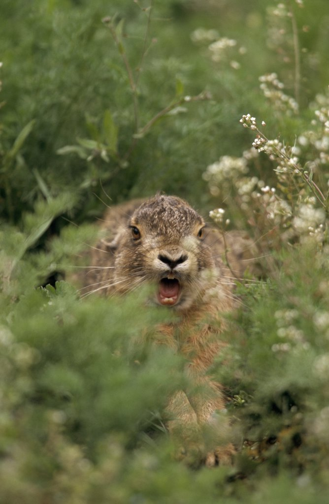 Stock Photo: 4201-23184 European Hare (Lepus europaeus) stretching and yawning, Europe
