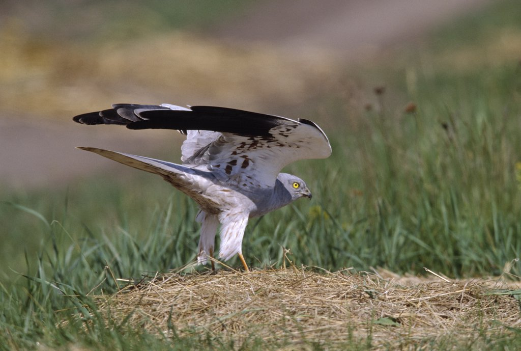 Stock Photo: 4201-23331 Montagu's Harrier (Circus pygargus) adult on ground with wings raised, Europe