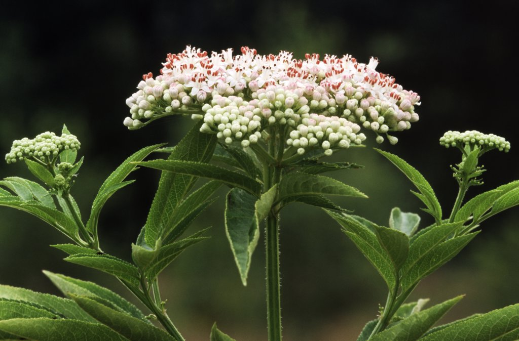 Stock Photo: 4201-23449 Dwarf Elderberry (Sambucus ebulus) detail of flower, Europe