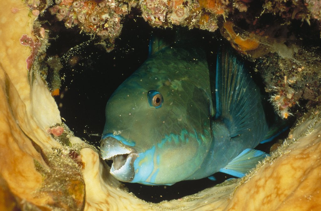 Stock Photo: 4201-2355 Steephead Parrotfish (Scarus microrhinos) portrait, Manado, North Sulawesi, Indonesia