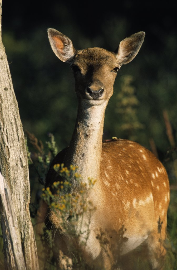 Fallow Deer (Dama dama) adult portrait, Europe : Stock Photo