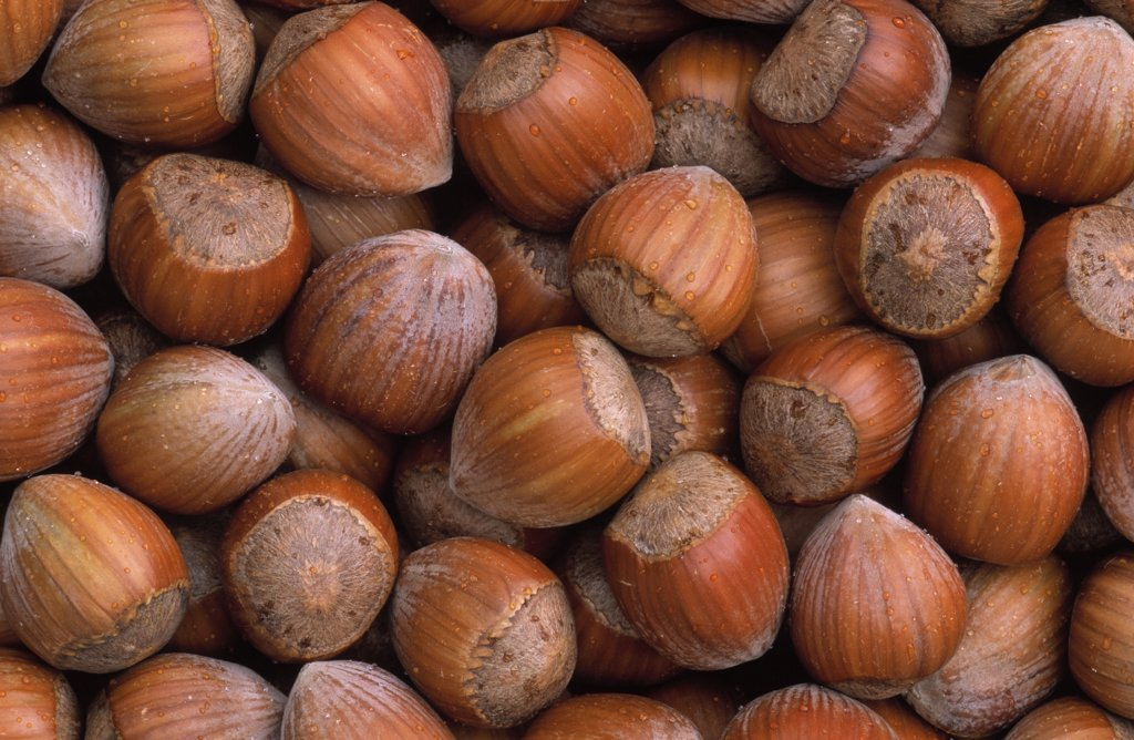 Hazelnut (Corylus avellana) group, Europe : Stock Photo