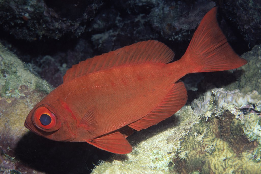 Red Bigeye (Priacanthus macracanthus) adult swimming underwater, Indonesia and Australia : Stock Photo